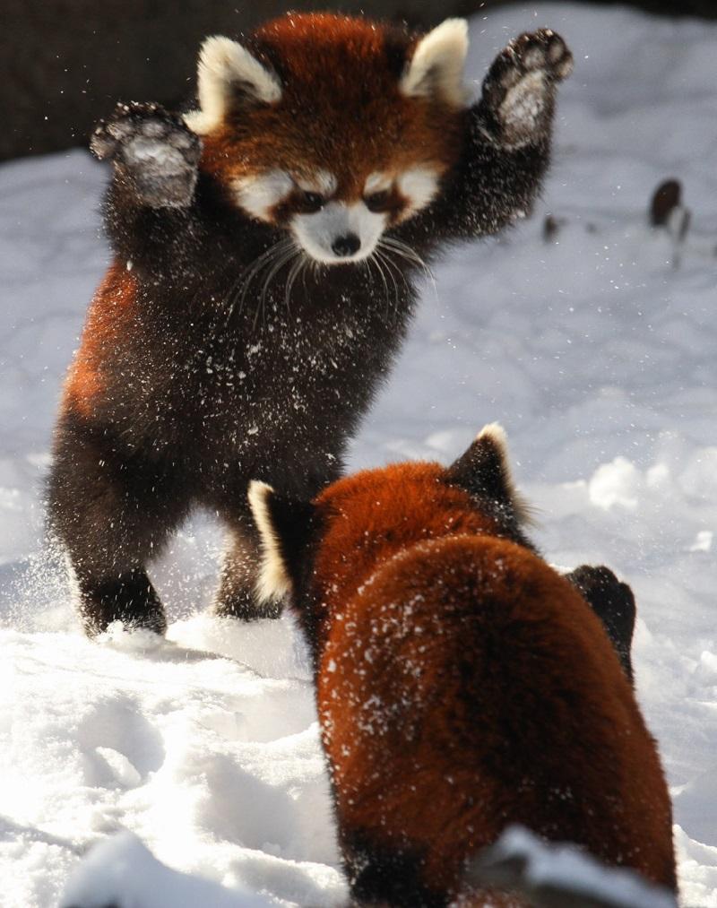 ressa-panda